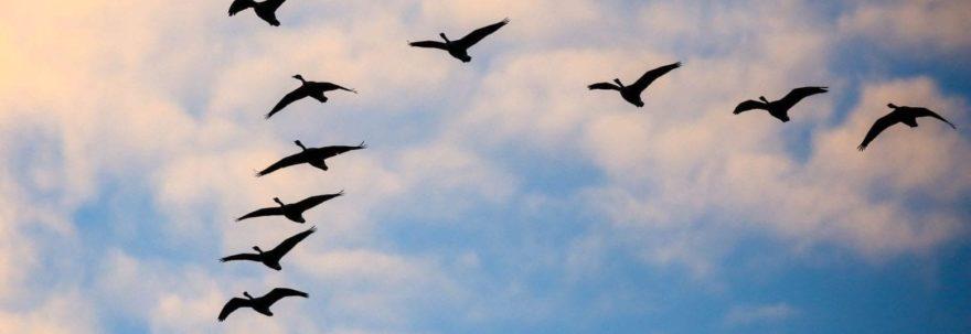 Loyal Geese
